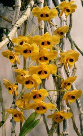 别称 金兰(中药志) 界 动物界 门 被子植物门 纲 单子叶植物纲 亚纲