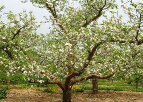 春天的苹果树是什么样子