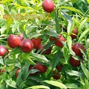 请问桃树的叶子颜色是什么颜色?
