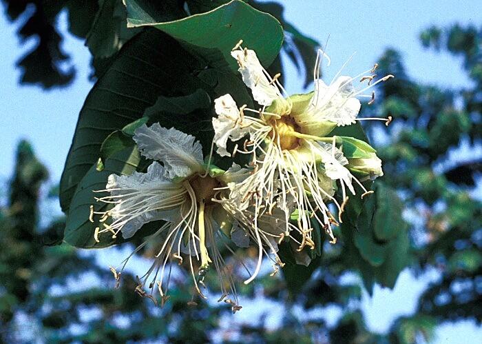 八宝树为五加科常绿小乔木,掌状复叶,小叶8枚左右,故而得名,其中文学