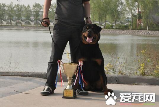 罗威纳犬的复仇 世界上最具有勇气和力量的犬种