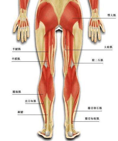 大腿骨骼肌肉结构图
