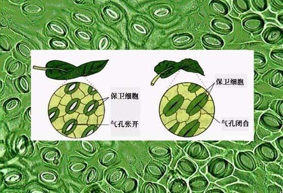 树叶的结构组成部分图