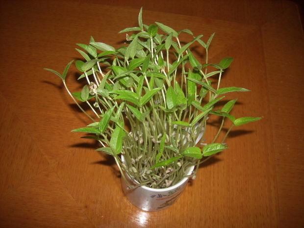 匿名网友LV2017-02-14   绿豆(Vignaradiata(Linn.)Wilczek.),属于豆科。别名青小豆(因其颜色青绿而得名)、菉豆、植豆等,在中国已有两千余年的栽培史。原**地在印度、缅甸地区。现在东亚各国普遍种植,非洲、欧洲、美国也有少量种植,中国、缅甸等国是绿豆主要的出口国。种子和茎被广泛食用。绿豆清热之功在皮,解之功在肉。绿豆汤是家庭常备夏季清暑饮料,清暑开胃,老少皆宜。传统绿豆制品有绿豆糕、绿豆酒、绿豆饼、绿豆沙、绿钝皮等。绿盯芽试验:今天,我把自己精心挑选的小绿豆泡在水中。我