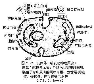 哺乳动物疟原虫的亚显微结构