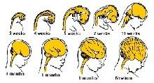 大脑结构_大脑结构