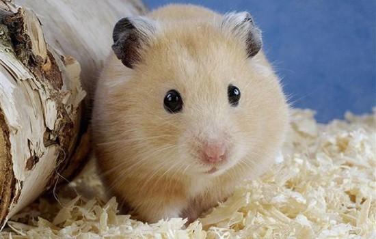 公仓鼠的臀部一般比较大,又红又肿; 母仓鼠的臀部一般呈倒三角形