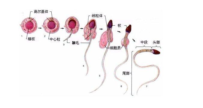 以哺乳类为例,精子的结构可分为头,颈和尾3部分.